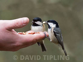 Coal Tit Periparus ater.feeding from hand at Big Garden Birdwatch event at RSPB Loch Garten Reserve, Speyside, Scotland, winter