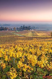 Vineyards in autumn at sunrise, Cote d'Or,  Burgundy, France