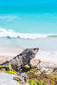 Iguana with sea in the background, Tulum, Mexico