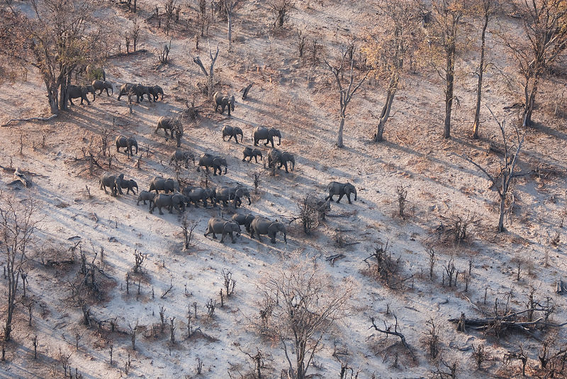 Aerial view of African elephants (Loxodonta africana) migrating through woodland in their search for food and water during a drought. Northern Botswana.  Taken on location for BBC Planet Earth series, October 2005