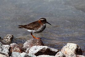 Diademed sandpiper-plover or diademed plover (Phegornis mitchellii)