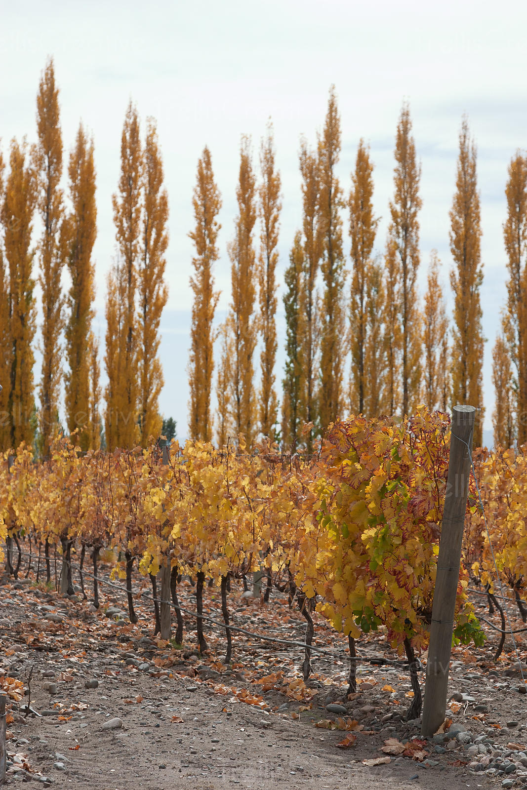 Autumn poplar trees behind one row of vines. Dusty, dirt underneath, golden leaves. Sky. One pole at end of vineyard. Portrait view.