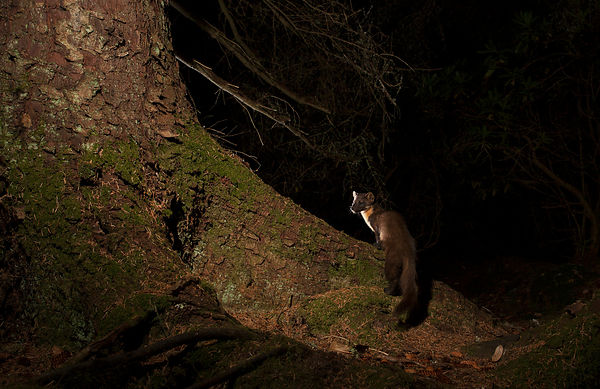 I wanted to create a deep forest feel to this camera trap setup, with simple lighting - I think the pose of the Pine Marten adds the final element