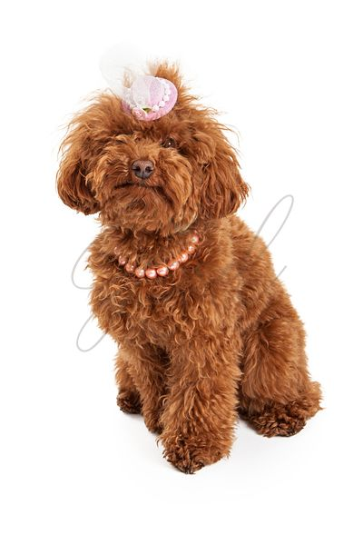Poodle dog wearing Easter hat