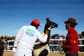 Judge checking the wool of a llama during competition, Curahuara de Carangas, Bolivia