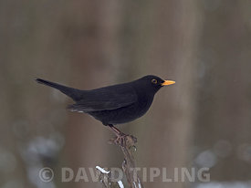 Blackbird Turdus merula male in garden in freezing weather with snow on the ground Norfolk