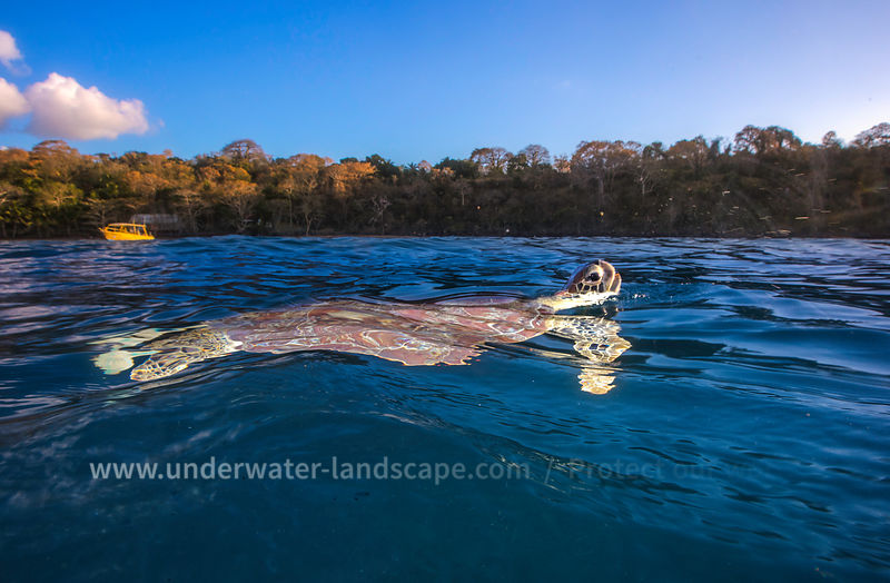 Green turtle at the surface - Sea Turtle