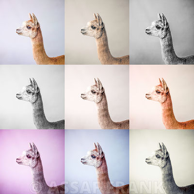 Alpacas photos