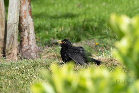 Blackbird basking in the sun.