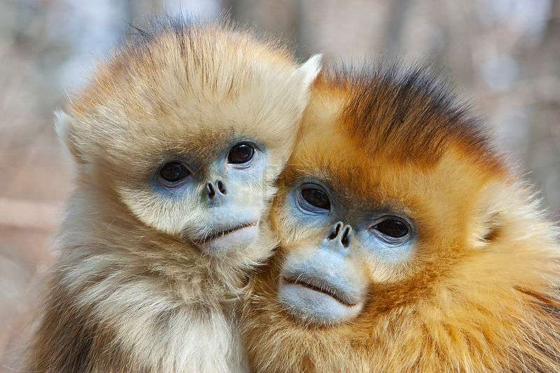 Golden Monkey Siblings