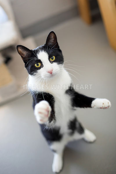 Playful tuxedo cat standing on hind legs