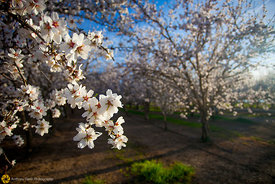 Almond Orchards in Bloom #33