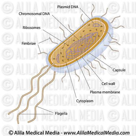Alila Medical Media Bacteria Structure Unlabeled Medical