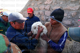 Checking the teeth of an alpaca that has been selected to take part in competition, Curahuara de Carangas, Bolivia