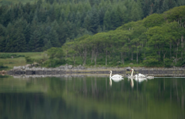 A family of Mute Swans create a nice focal point on a crystal clear morning across a loch