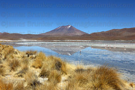 Flamingos feeding at Laguna Hedionda , paja brava grass (Festuca orthophylla) on shoreline , Cerro Araral volcano in background , North Lipez region , Bolivia