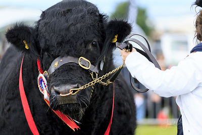 CATTLE, CARDIGAN SHOW photos