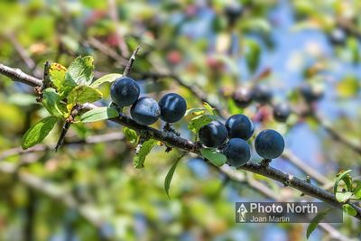 BLACKTHORN 02A - Sloe berries