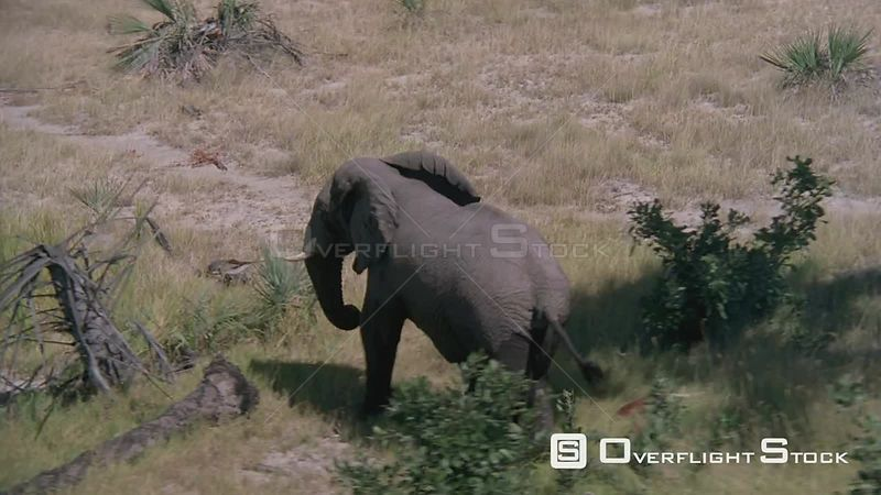 Aerial rear view of half wet elephant walking through bushveld with trees and bushes Zimbabwe