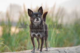 greying chihuahua standing on a log in front of tall grass