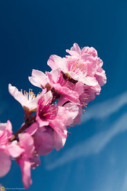 Pink Peach Blossoms #4
