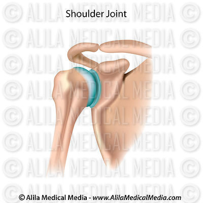Alila medical media bones joints and muscles images the two joints of the shoulder ccuart Images