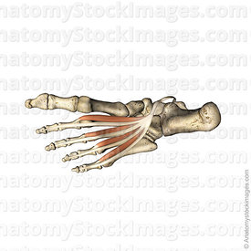 foot-musculi-lumbricales-musculus-lumbrical-muscles-muscle-proximal-phalanx-flexor-digitorum-longus-tendon