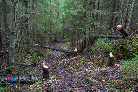 Beaver has cut down aspens next to hiking trail
