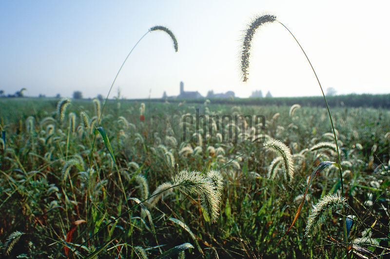Grasses in Farm Field