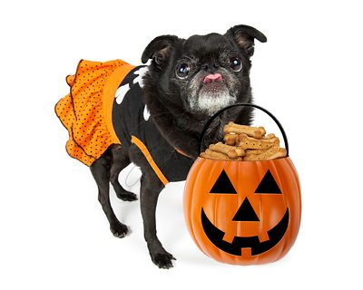 Funny Halloween Dog With Treats