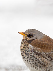 Fieldfare Turdus pilaris in garden in freezing weather with snow on the ground Norfolk february