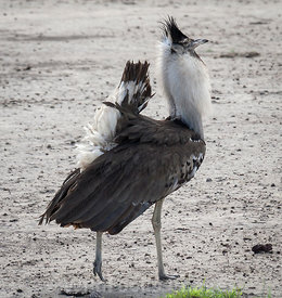 Male Kori bustard (Milvus migrans) doing his courtship display, Ngorongoro Crater, Tanzania; Landscape