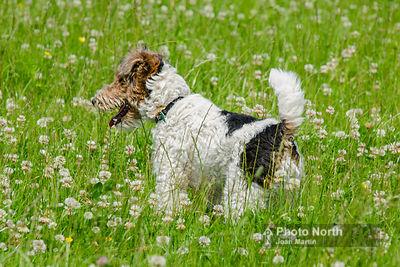 DOG 11C - Wire-haired fox terrier
