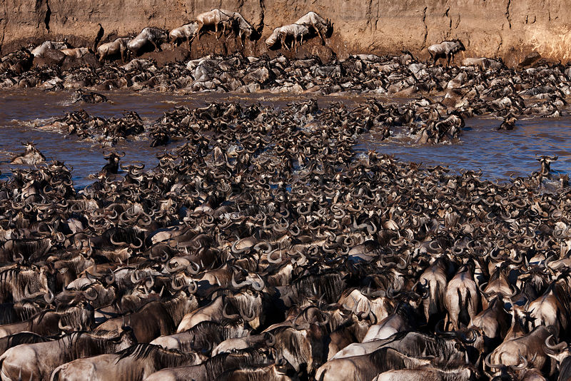 Eastern White-bearded Wildebeest (Connochaetes taurinus) herd crossing the Mara River and clambering up steep bank. Masai Mara National Reserve, Kenya, July
