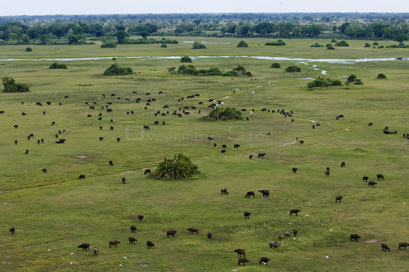 Aerial view of herd of grazing Buffalo (Syncerus caffer) Okavango Delta, Botswana, April 2005