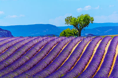 Landscape and lavender field, France new