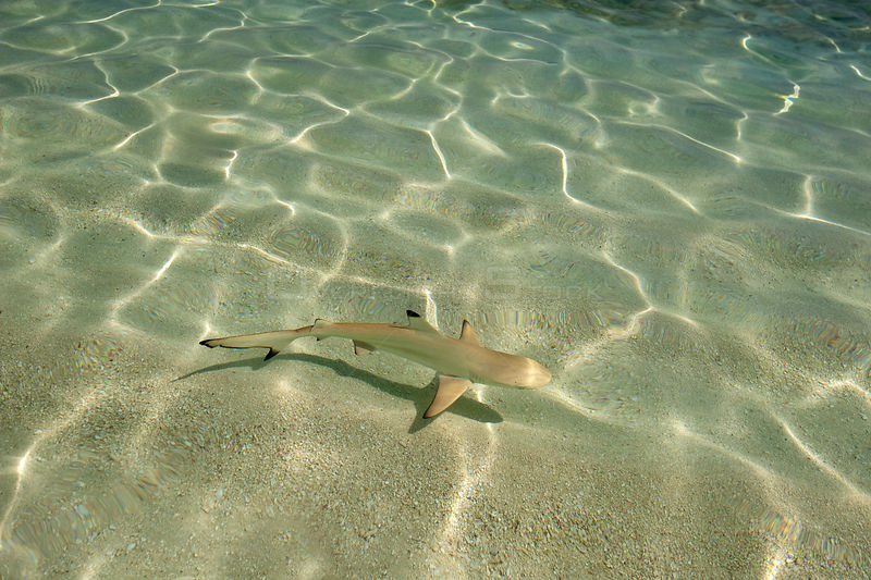 Blacktip reef shark (Carcharhinus melanopterus) juvenile swimming  over sand seabed along shoreline in shallow water, Maldives, Indian Ocean.