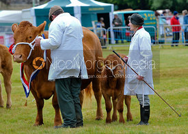 Cow and calf being shown by  their handlers, Rutland Show