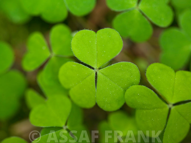 Close-up of lucky clover