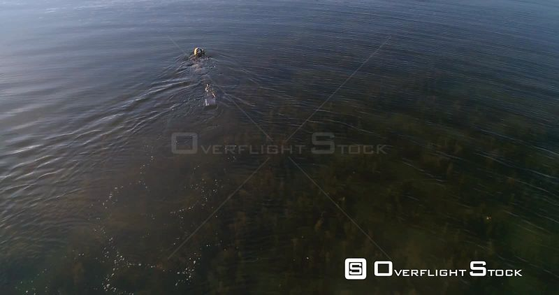Diver on the sea, aerial view following a spearfisher, at the clear, shallow and low waters of baltic sea, on a sunny summer evening sunset, in Hanko, Finland