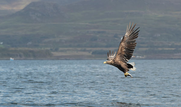 Pulling the zoom back a bit to show the diving eagle in the context of it's environment