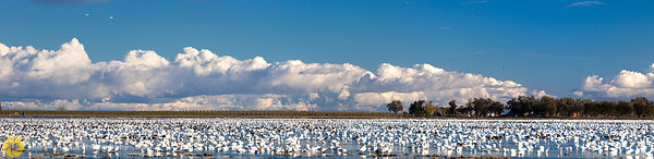 Snow Geese in Rice Field #3