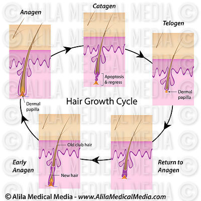 Hair growth cycle complete with labels.