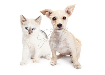 White Color Kitten and Puppy Together