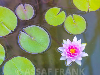 Water lily floating on a stil pond