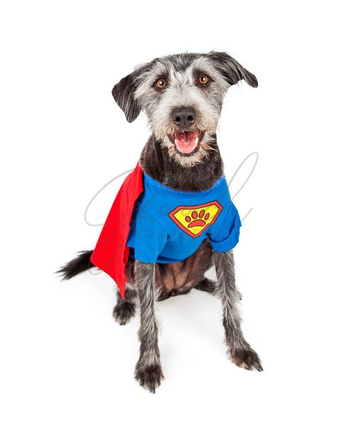 Happy Super Hero Terrier Dog