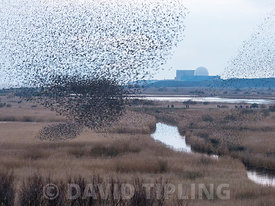 40,000 murmurating Starlings come into roost at Minsmere RSPB Reserve Suffolk February