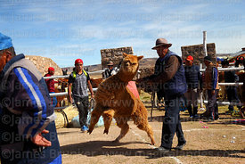 Man trying to control his alpaca that has been selected to take part in competition before weighing, Curahuara de Carangas, Bolivia