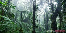 Tropical forest panoramic, Monteverde cloud forest, Costa Rica