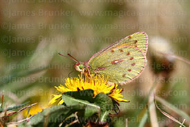 Puna Clouded Yellow butterfly (Colias euxanthe)